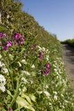 Ail sauvage et fleurs roses dans une ruelle de pays de Devon Photographie stock
