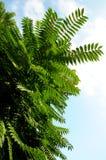 Ailanthus altissima stockbilder