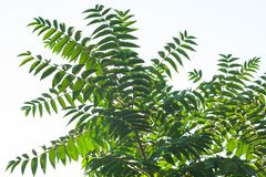 Ailanthus altissima flowers ready to bloom. Ailanto blosson, Tree of Heaven. Ailanthus altissima. Nature background. Ailanthus altissima fis a genus of trees royalty free stock images
