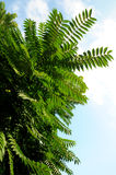 Ailanthus altissima Stock Images