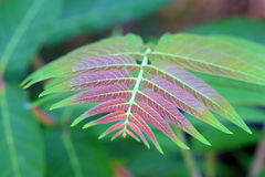 Ailanthus altissima Royalty Free Stock Image