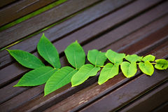 Ailanthus branch on the bench Royalty Free Stock Images