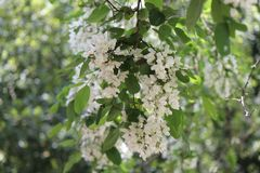 Ailanthus plant at Villa Borghese in Rome. White and fragrant ailanthus plant in villa borghese in rome in april during an excursion stock photo