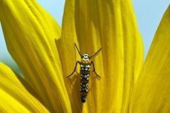 Ailanthus Webworm Royalty Free Stock Photo