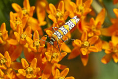 Ailanthus webworm, Atteva aurea Stock Images