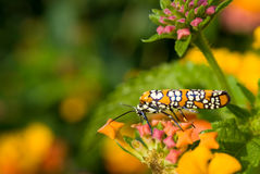 Ailanthus Webworm auf Lantana Stockfoto