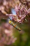 Ailanthus Webworm auf Rosa Stockfotografie