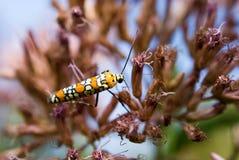 Ailanthus Webworm auf Rosa Lizenzfreie Stockfotografie