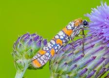 Ailanthus Webworm Royalty Free Stock Image