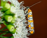 Free Ailanthus Webworm Moth Stock Images - 33401234