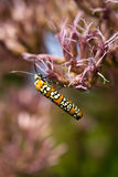 Ailanthus Webworm on Pink Stock Photography