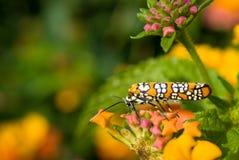 ailanthuslantanawebworm Arkivfoto