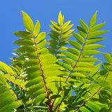 Ailanto Branches, Tree of Heaven. Royalty Free Stock Images