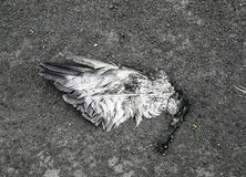 Aile déchirée d'un oiseau se trouvant sur la terre dans la poussière photos stock