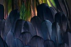 Aile de coq, plumage d'oiseau de paradis photos libres de droits