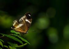 Aile de manque de papillon photographie stock libre de droits