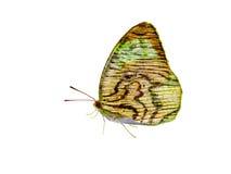 Aile en bois de texture de papillon d'isolement Photos libres de droits