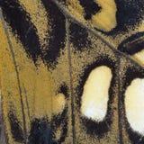 Aile jaune de papillon Images libres de droits