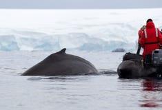 Aileron de baleine de bosse Image stock