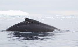 Aileron de baleine de bosse Images libres de droits