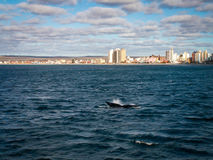 Aileron de baleine droite chez Puerto Madryn Photographie stock