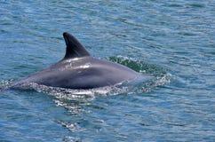 Aileron de dauphin Image stock