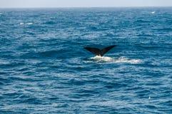 Aileron de queue d'une baleine droite du sud de plong?e photographie stock libre de droits