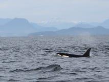 Aileron dorsal solitaire avec la cosse des orques résidentes de la côte près de Sechelt, AVANT JÉSUS CHRIST photo stock