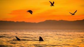 Ailerons d'un requin blanc et des mouettes Photo stock