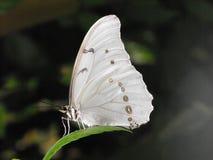 Ailes blanches de papillon de Morpho fermées Photographie stock libre de droits
