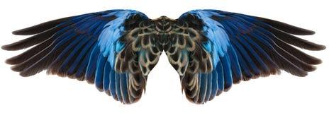 Ailes bleues d'oiseau d'isolement image libre de droits