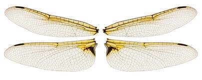 Ailes de libellule d'isolement sur le blanc Images stock
