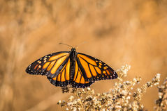 Ailes de papillon enjambées sur les fleurs sèches Image stock