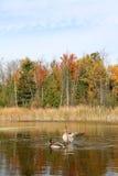 Ailes de propagation de canard pendant l'automne photographie stock libre de droits
