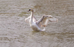 Ailes de propagation de cygne blanc Photos libres de droits