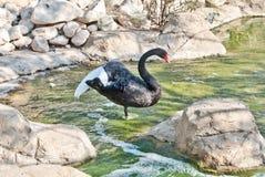 Ailes de propagation de cygne noir restant dans l'eau photographie stock
