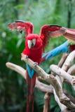 Ailes de propagation de perroquet rouge Photographie stock libre de droits