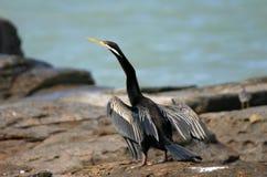 ailes de séchage de cormoran Photo libre de droits