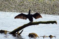 Ailes de séchage de Cormorant Images libres de droits