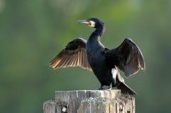 Ailes de séchage grandes de Cormorant (carbo de Phalacrocorax) images libres de droits
