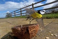 Ailes et plumes de vol de mésange bleue photo libre de droits