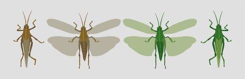 Ailes fermées et ouvertes de sauterelle brune grise et de sauterelle verte illustration stock