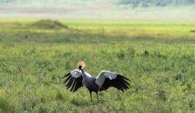 Ailes grandes -ouvertes de l'amour Danse de grue de vieille femme La Tanzanie, Afrique Photo stock