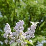Ailes rouges Voilier blanc de papillon sur les fleurs du lilas photographie stock