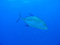ailette bleue trevally Images stock