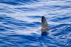 Ailette de Sunfish venant à l'extérieur l'eau comme métaphore de requin Image libre de droits