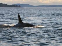 Ailette dorsale de baleine d'orque Images libres de droits