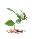 Ailing Money Tree Royalty Free Stock Images