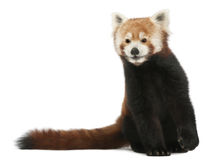 ailurus κόκκινο να λάμψει panda γατών ful Στοκ Φωτογραφία