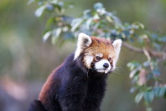 Ailurus fulgens Stock Photo